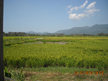 Paddy field in Balik Pulau