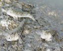 Three mudskippers