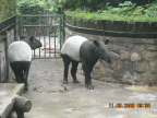 Photo of Tapirs that I got in Beijing's Zoo